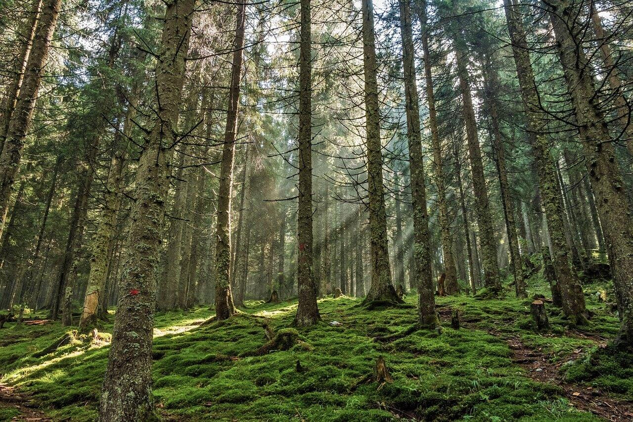 Lumière traversant une forêt de pins