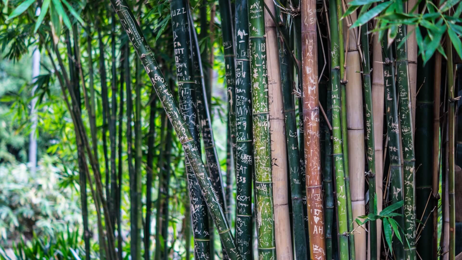 Forêt de bambou, un matériau beaucoup utilisé pour des objets éco design