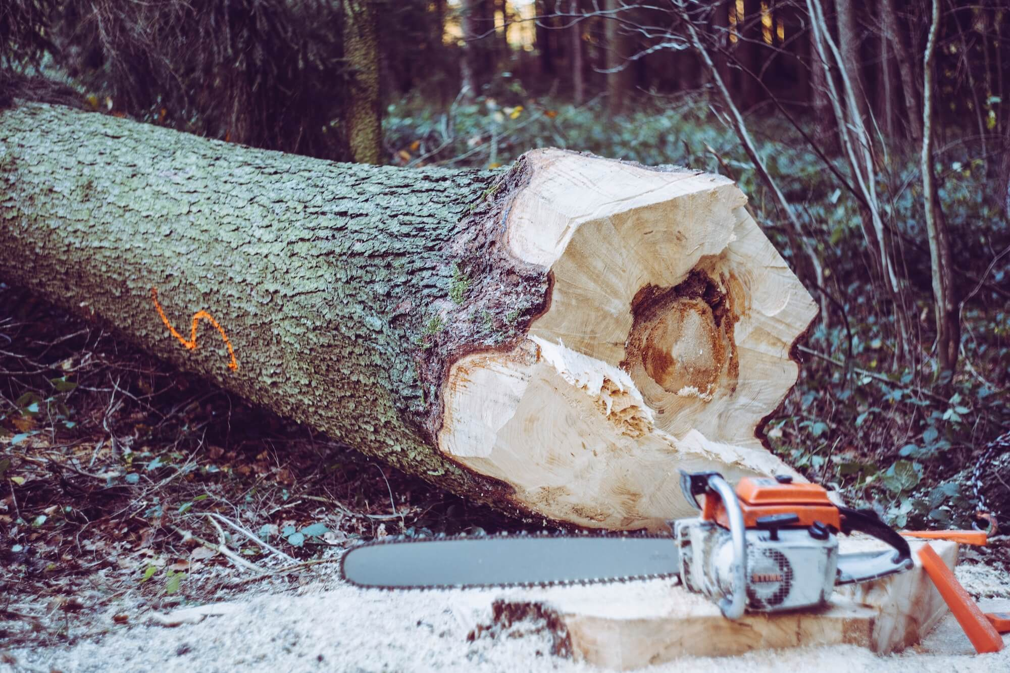 Tronc d'arbre coupé avec une tronçonneuse
