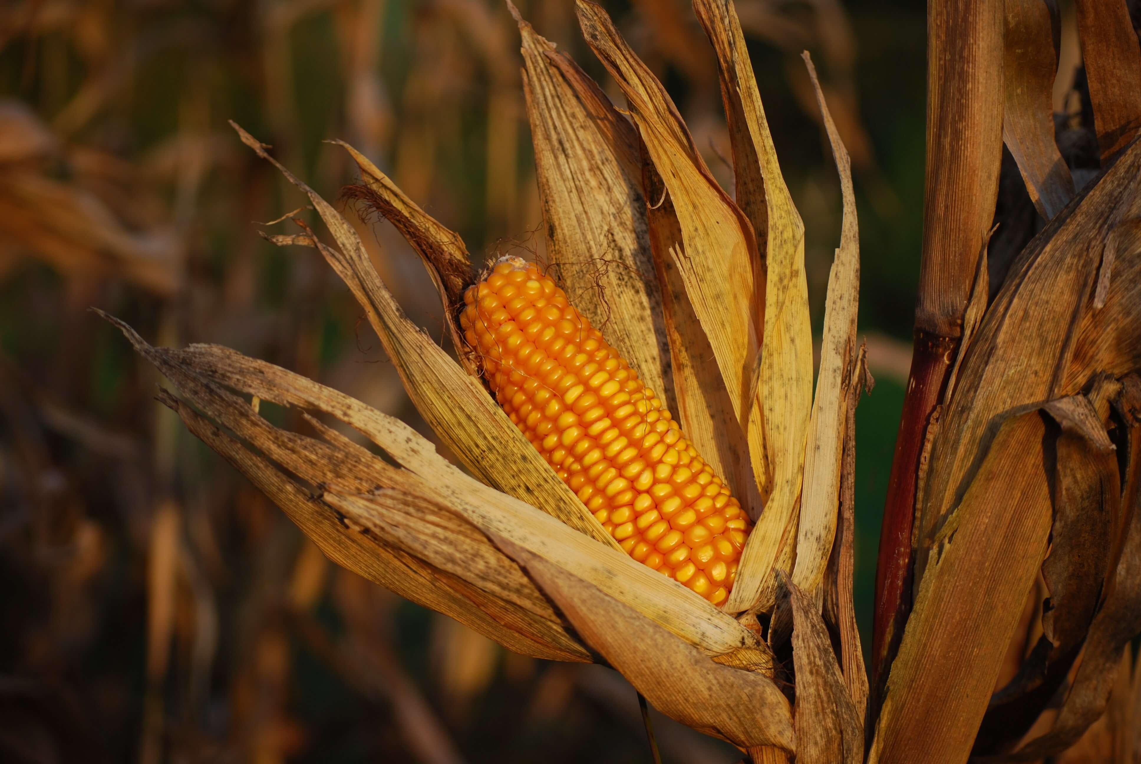 el almidón de maíz se utiliza para fabricar packaging ecológico