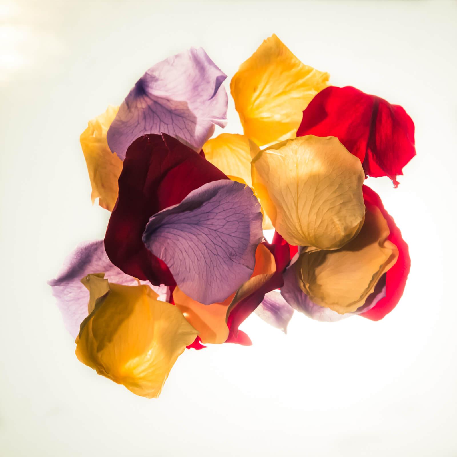 pétalos de rosas de múltiples colores